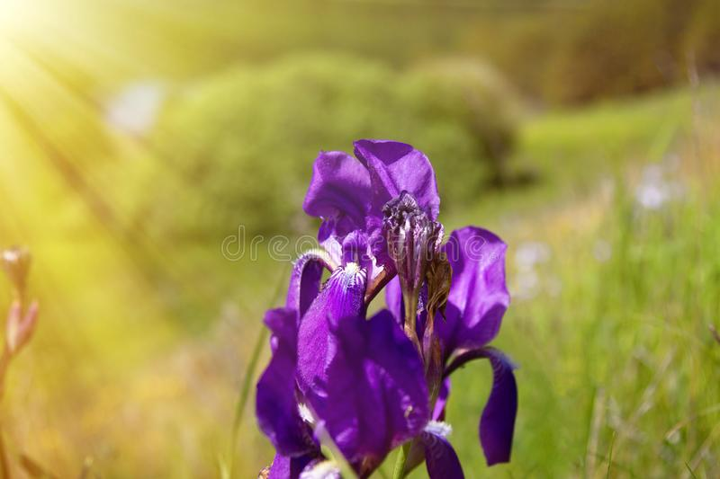 Blueflag, iris. Sp. bloom on upland meadow in the North-West of Russia stock image