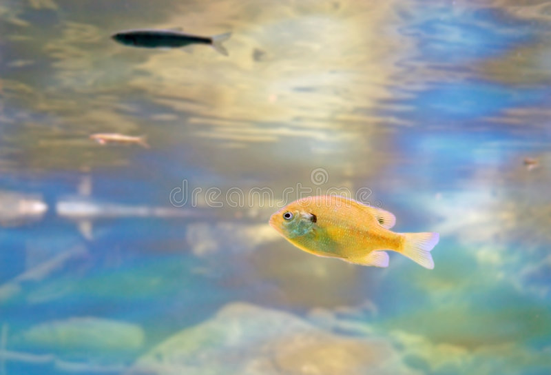Download Bluegill in Taylor Creek stock photo. Image of ripple - 4054006