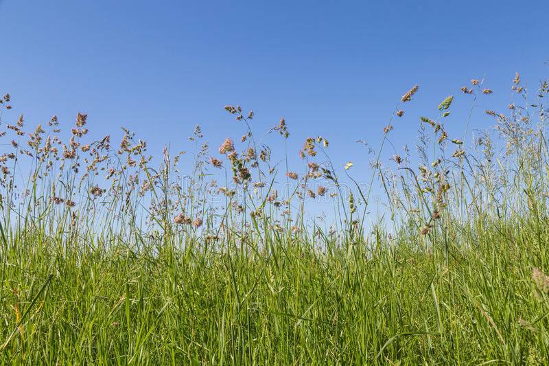 Bluegrass and cocksfoot. Grass - bluegrass and cocksfoot with blue sky as background stock images