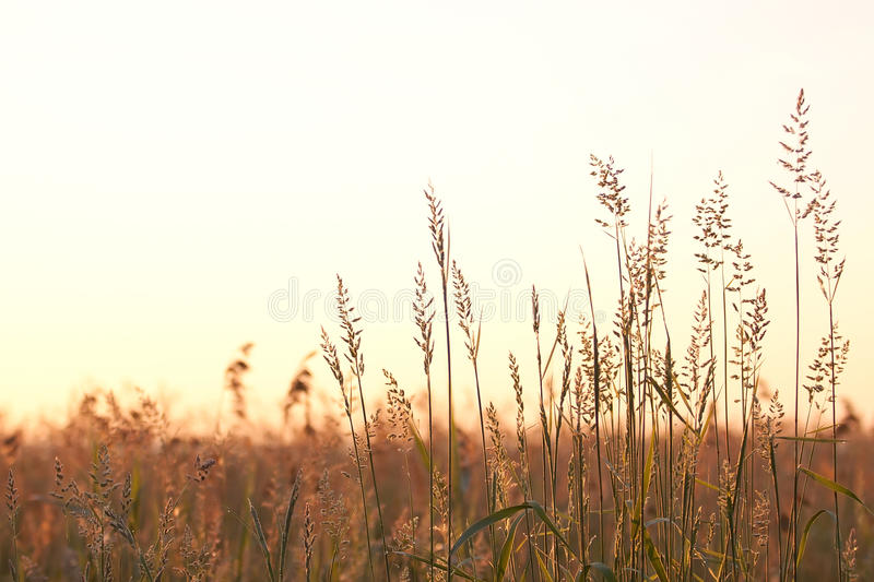 Bluegrass (Elytrigia repens). On a summer meadow at dawn royalty free stock images