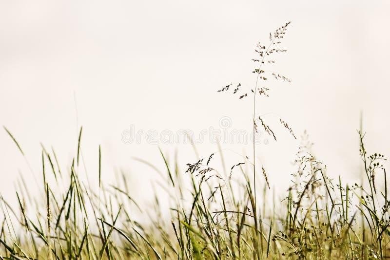 Bluegrass in the field. Summer. Narrow depth of field stock photo