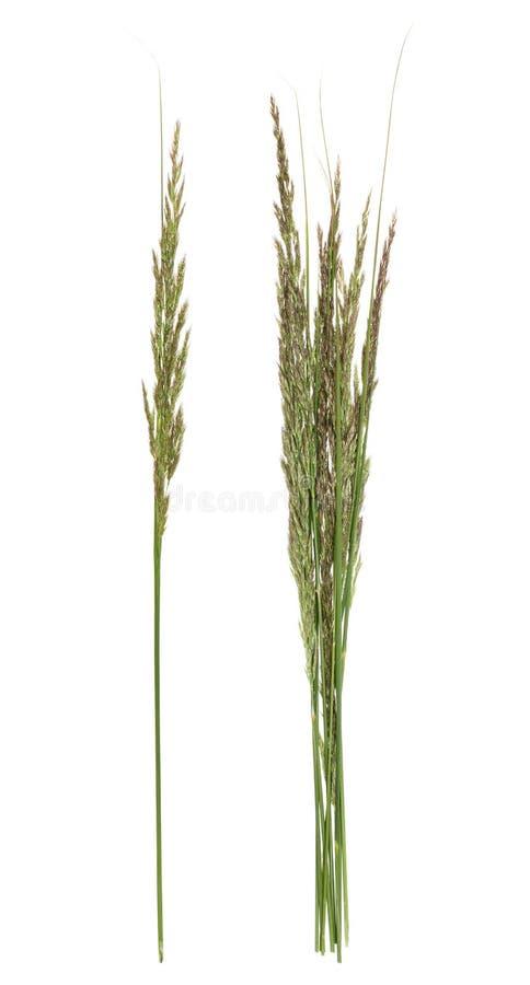 Bluegrass roślina na białym tle zdjęcia stock