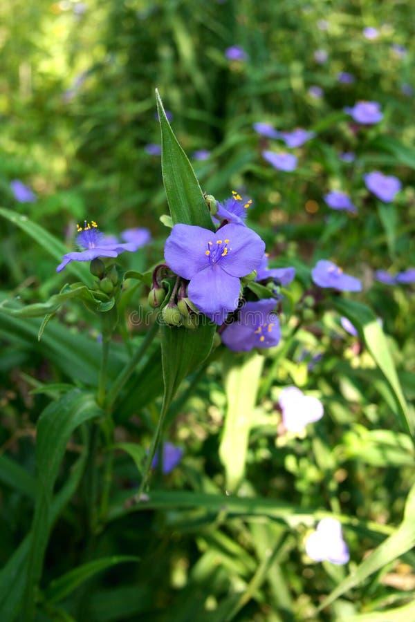 Bluejacketblomma eller Ohio Spiderwort royaltyfri foto