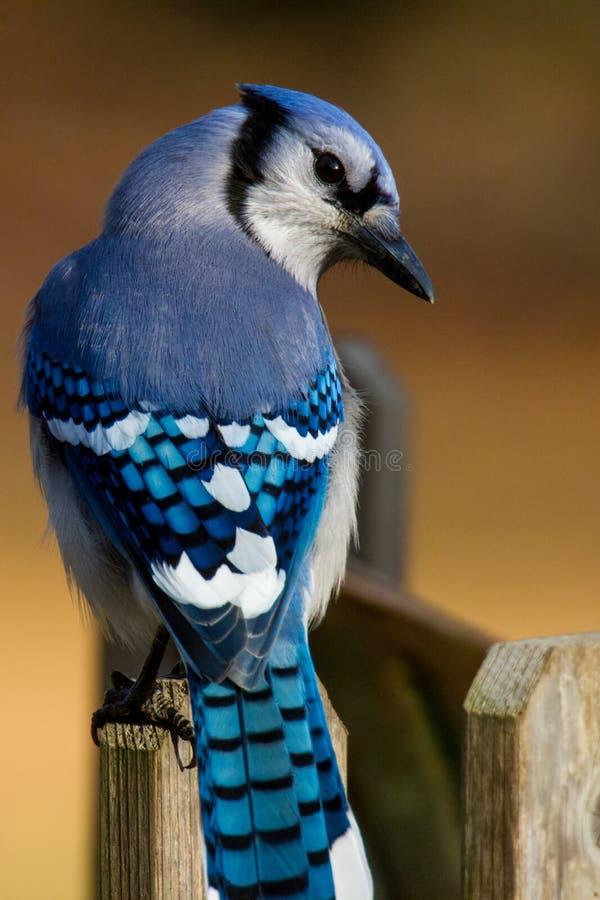 Bluejay που σκαρφαλώνει σε ένα fencepost στοκ φωτογραφία με δικαίωμα ελεύθερης χρήσης