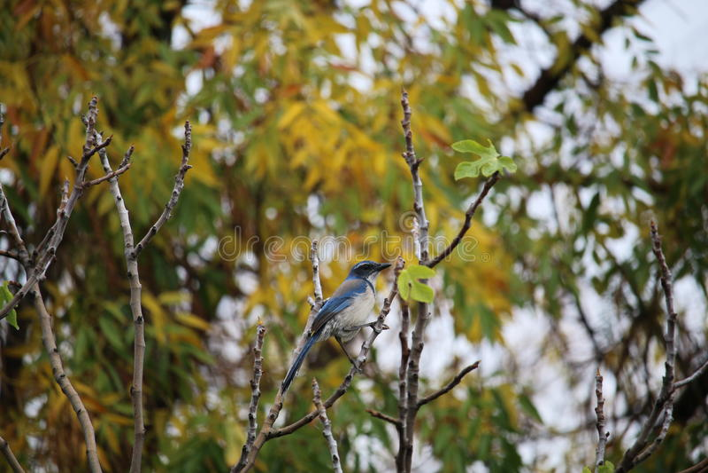 BlueJay στο δέντρο σύκων στοκ εικόνες
