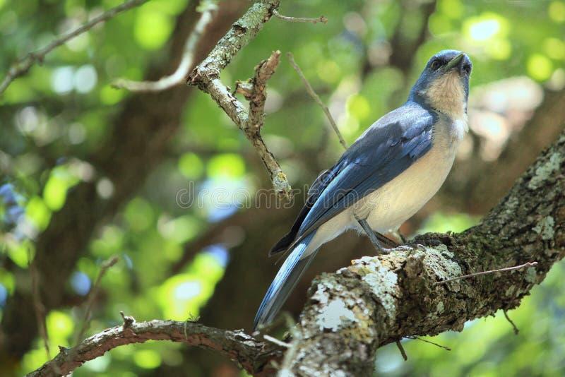Bluejay в лесе стоковые фотографии rf