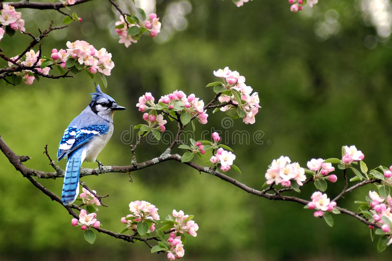 Bluejay 5. A picture of a bluejay sitting on a limb of a cherry blossom tree