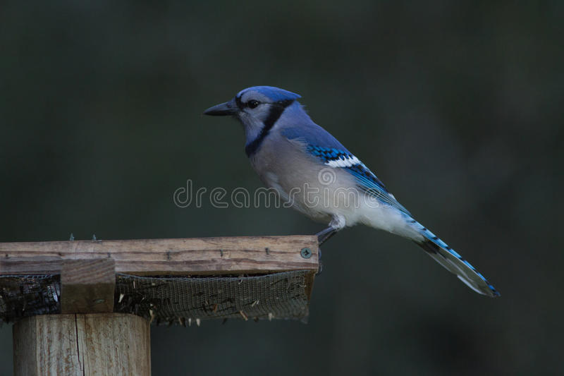 Bluejay stock foto's