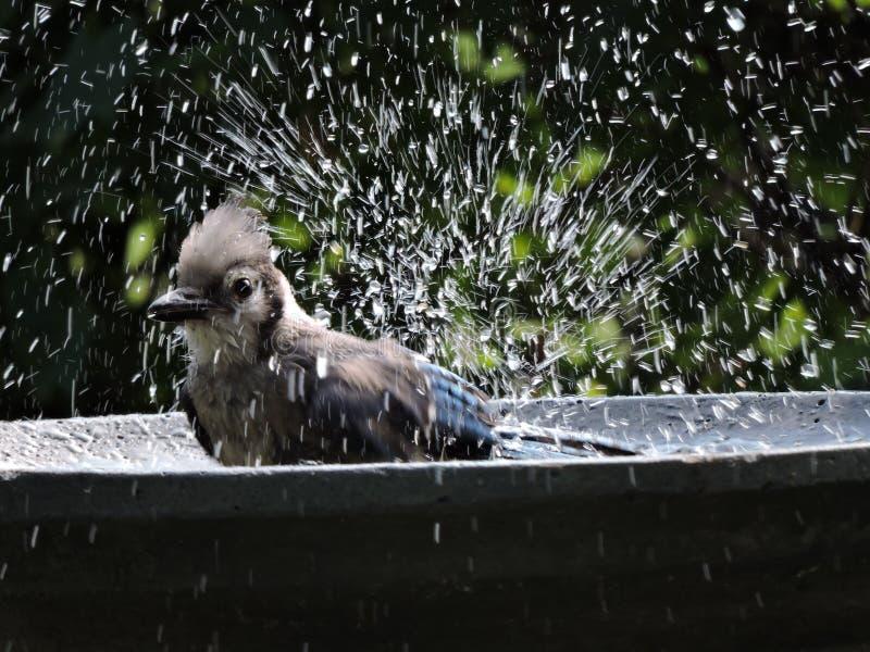 Bluejay após uma nadada no banho fotos de stock royalty free