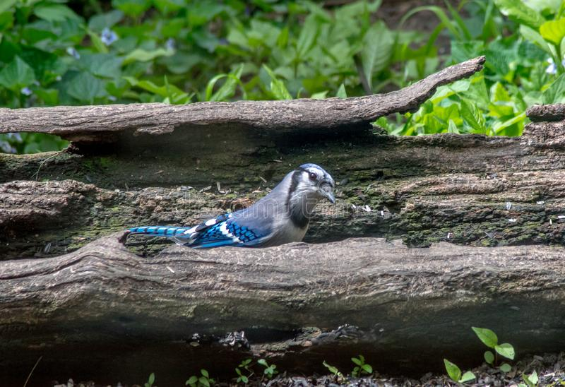 Bluejay bird hiding in a hollowed out log stock image