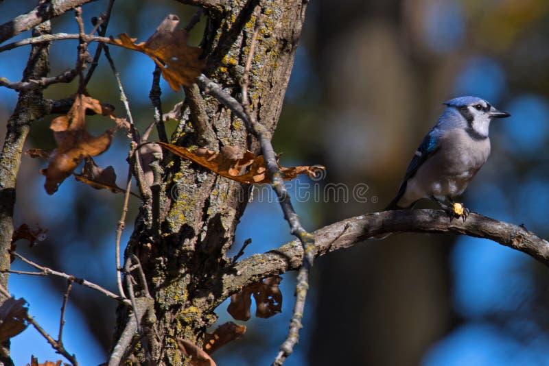 Minnesota Bluejay sitting on a tree Branch royalty free stock photos