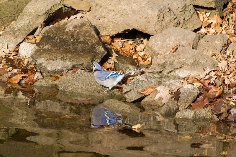 Bluejay przy rzeki krawędzią obrazy stock