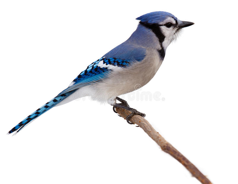 Bluejay scans its surroundings stock photos