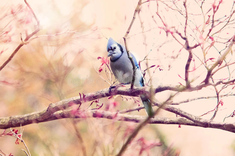 Bluejay in spring flowers stock images