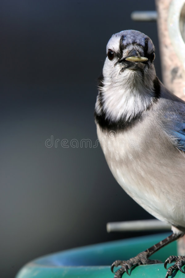 Download Bluejay With Sunflower In Beak Stock Photo - Image: 619196