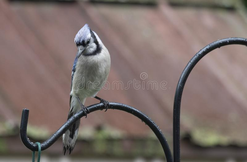 Blue Jay asserting Dominance. BlueJay waiting to fed in a backyard bird sanctuary on a summer day stock image