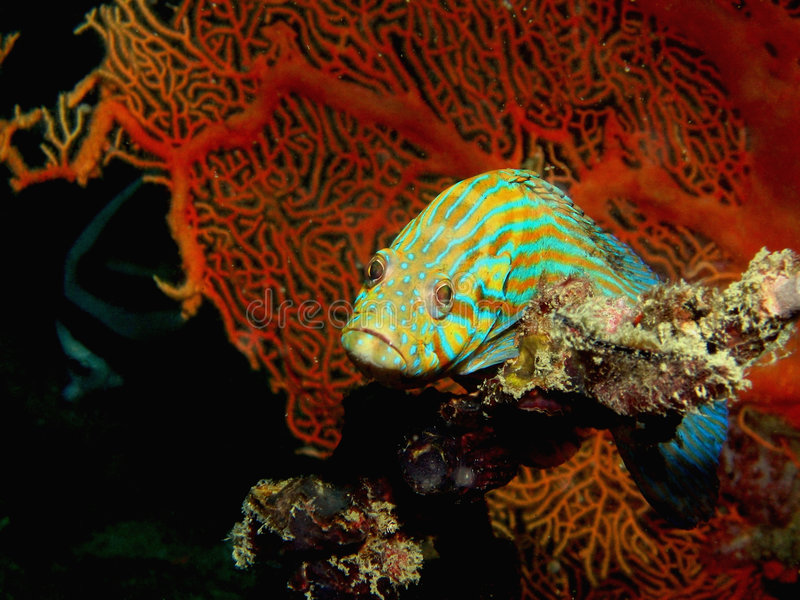bluelined grouper стоковая фотография