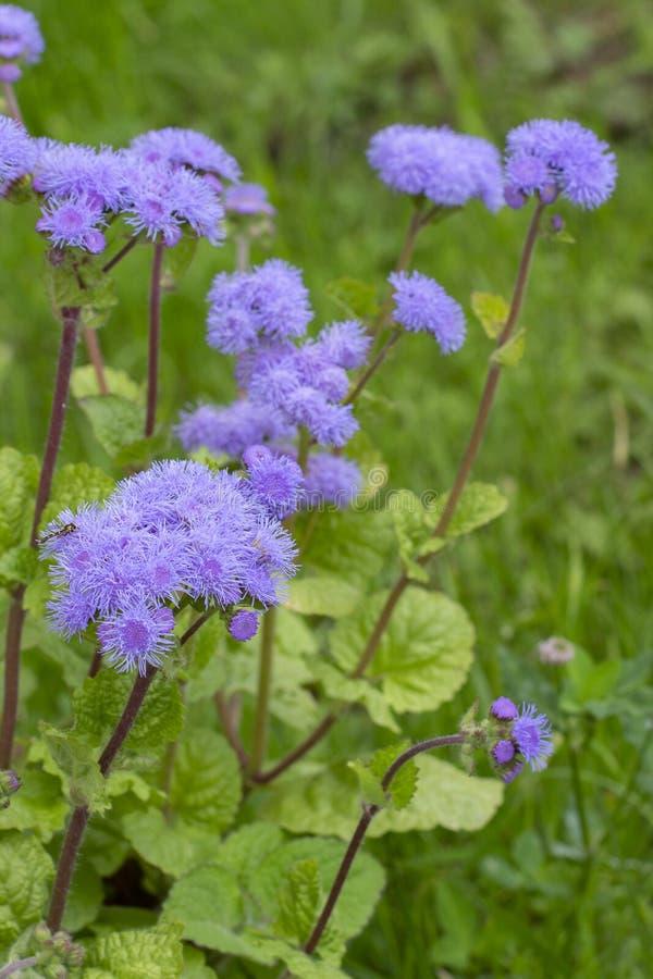 Bluemink mexikanischer Malerpinsel auch - Ageratum houstonianum Purpurrote Blume mit den flaumigen dünnen Blumenblättern, Dekorat lizenzfreies stockbild