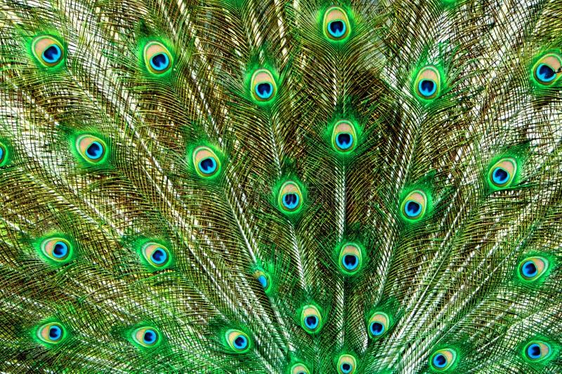 bluen befjädrar den gröna påfågelsvanen arkivfoto