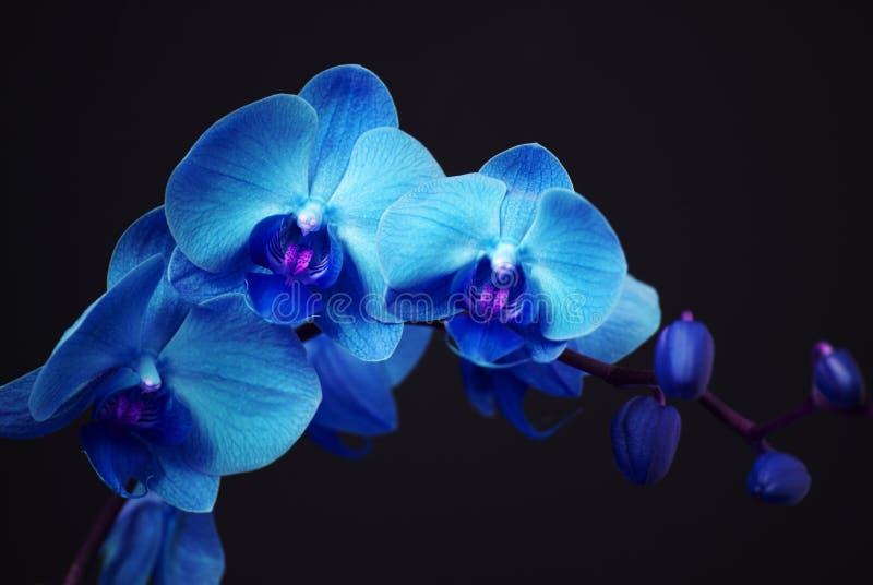 bluen slår ut orchiden royaltyfri foto