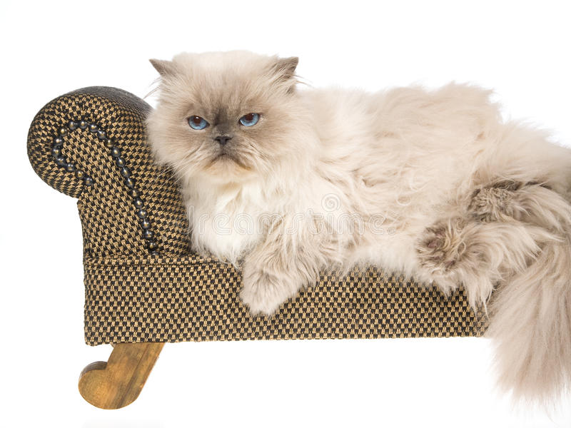 Bluepoint Himalayan cat on brown couch royalty free stock photos