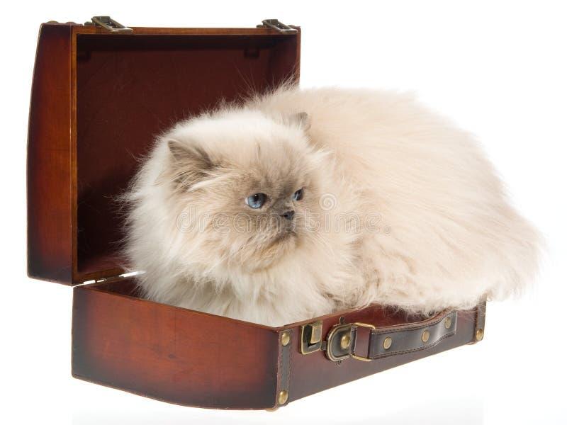 Bluepoint Himalayan cat in brown suitcase stock photos