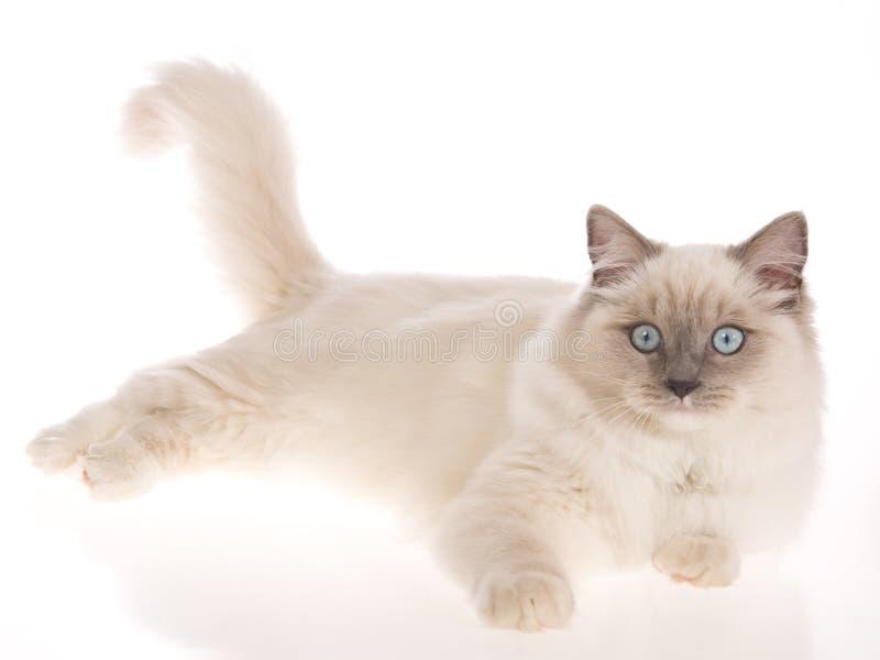 Bluepoint Ragdoll lying on white background. Bluepoint Ragdoll cat lying down on white background stock photography
