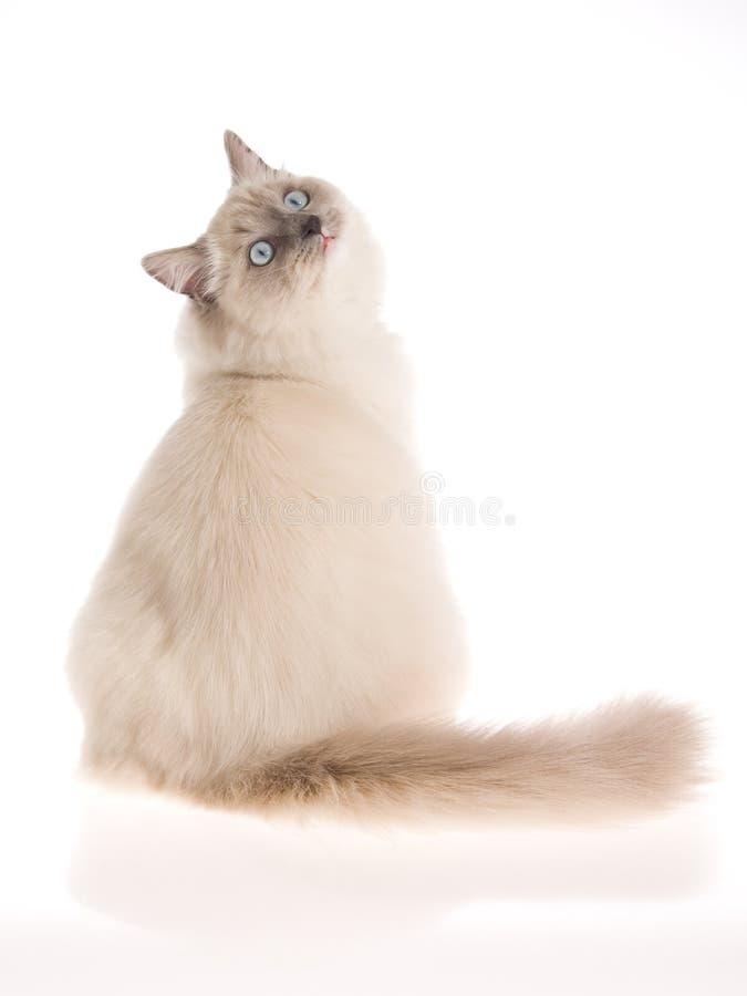 Bluepoint Ragdoll on white background. Bluepoint Ragdoll cat sitting on white background stock photos
