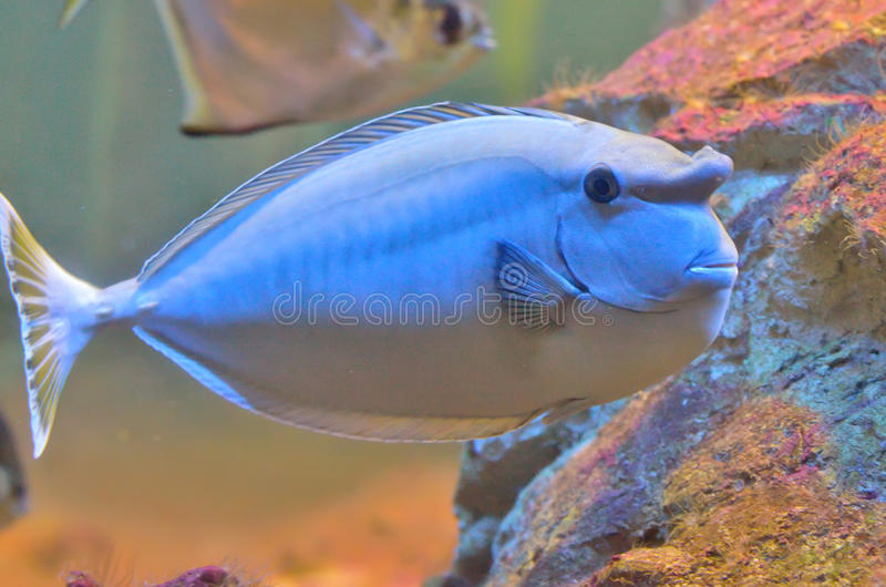 Bluespine unicornfish stock foto