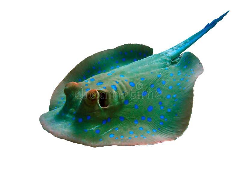 Bluespotted黄貂鱼-鱼 免版税库存图片