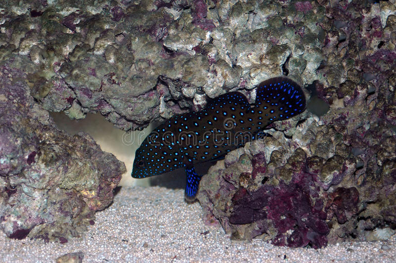 Bluespotted coral grouper (Cephalopholis argus) stock photo