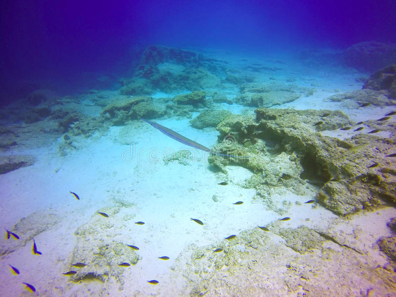 Bluespotted cornetfish royalty-vrije stock afbeeldingen