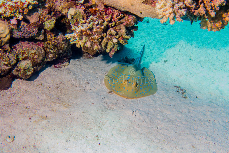 Bluespotted-ribbontail Strahl unter Korallen stockbilder
