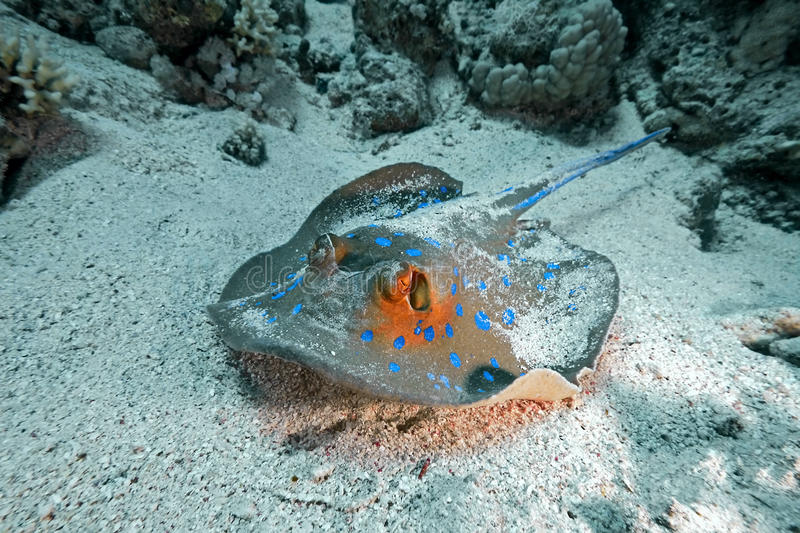 Download Bluespotted stingray stock photo. Image of nature, animal - 14856360