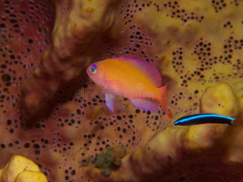 Bluestreak擦净剂濑鱼和anthia 免版税图库摄影