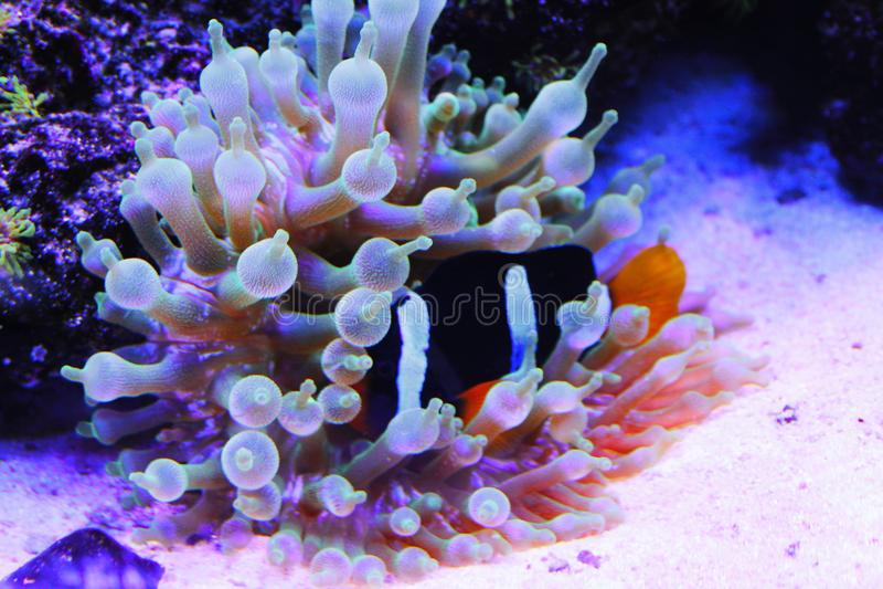 Bluestripe Clownfish immagine stock
