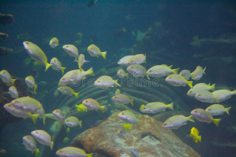 Download The bluestripe snappers stock image. Image of ecosystem - 12442887