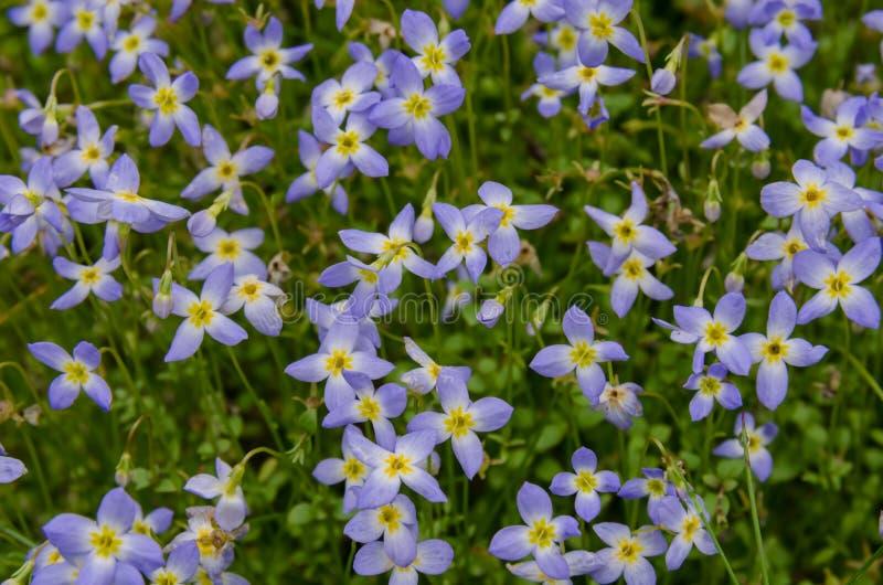 Bluet flowers close up stock image image of plant flower 43030225 download bluet flowers close up stock image image of plant flower 43030225 mightylinksfo Image collections