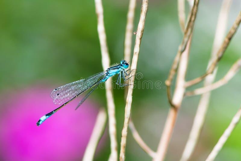 Bluetail damselfly på en fatta royaltyfri foto