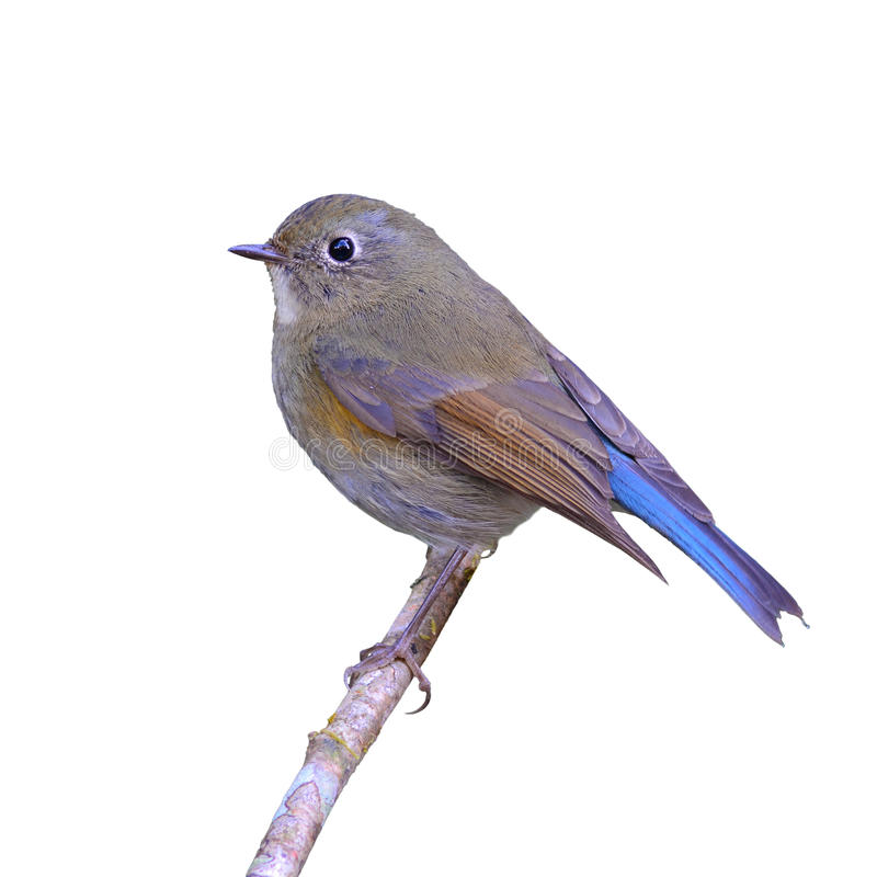 Bluetail de l'Himalaya photo stock
