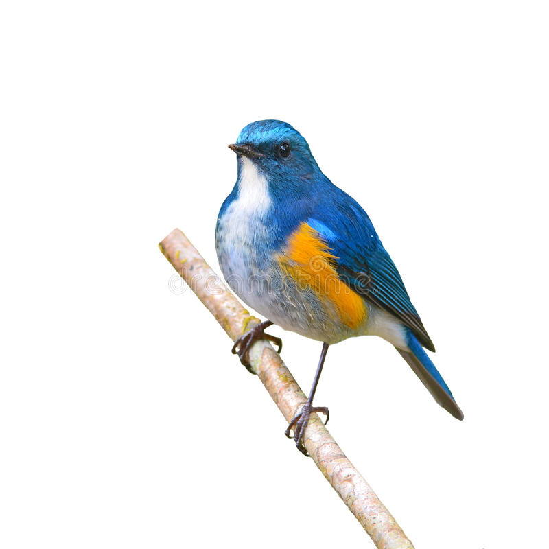 Bluetail de l'Himalaya photos stock