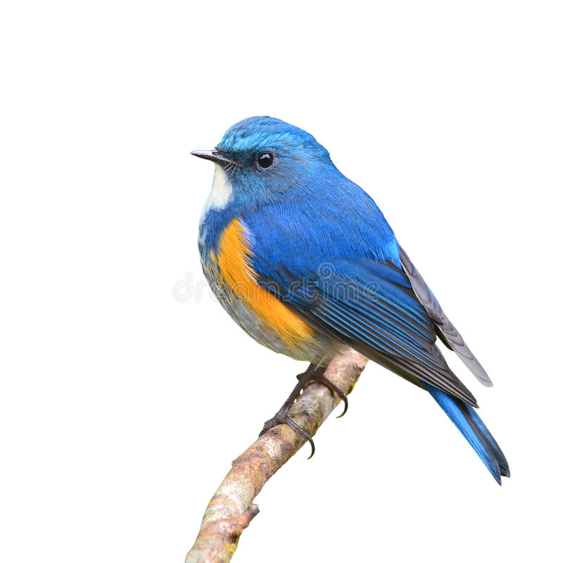 Bluetail de l'Himalaya images stock