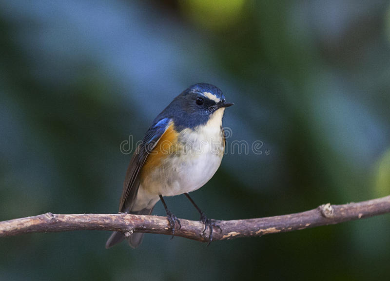 bluetail flankerade red royaltyfria bilder