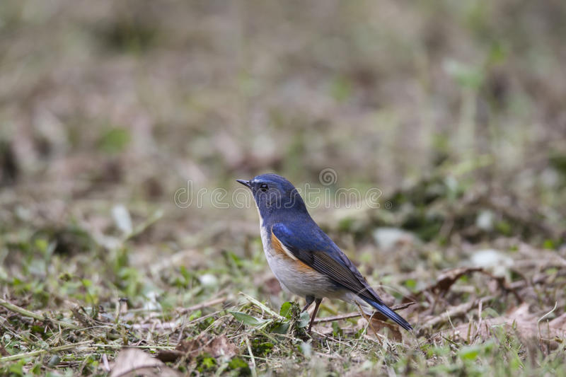 bluetail flankerade red arkivfoton