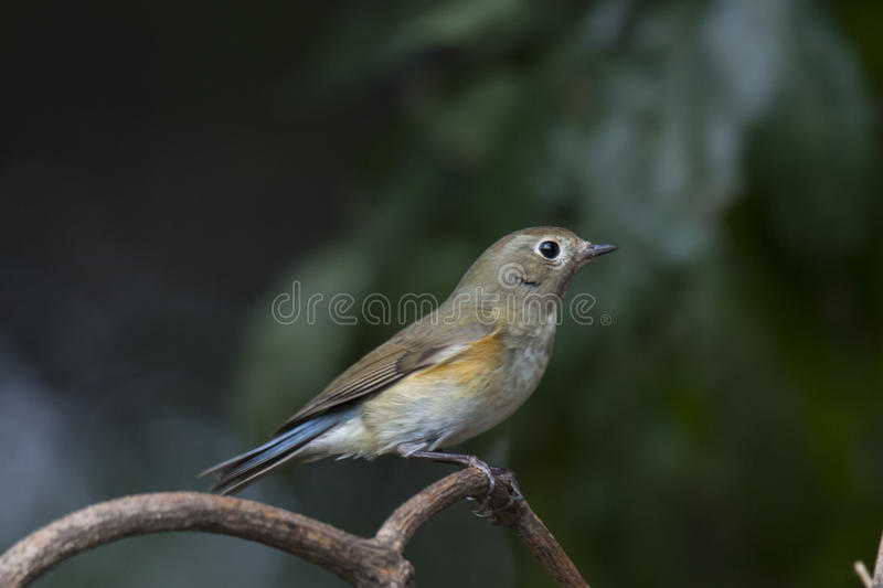 bluetail flankerade red royaltyfri fotografi
