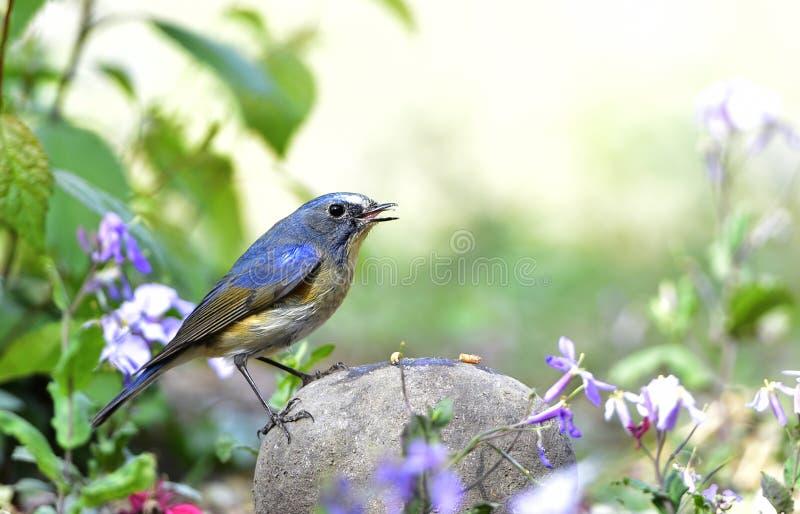 Download Bluetail Flankował Czerwień Obraz Stock - Obraz złożonej z zwierzęta, krajobraz: 53780287