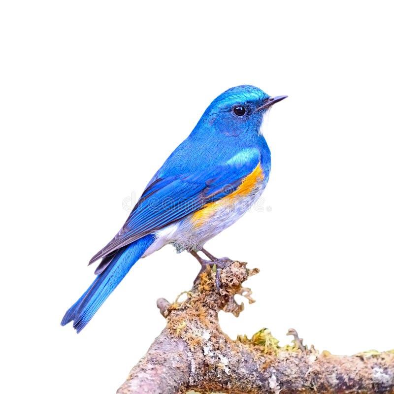 Bluetail himalayano fotografie stock libere da diritti