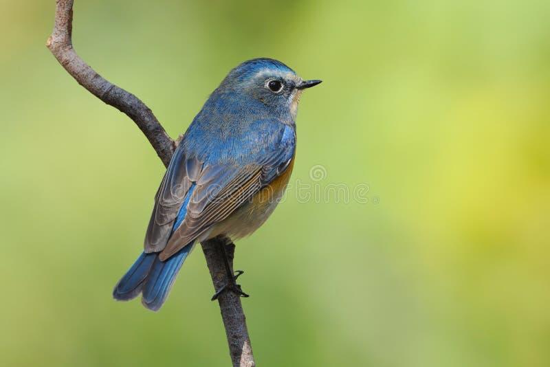 Bluetail Rojo-flanqueado fotos de archivo