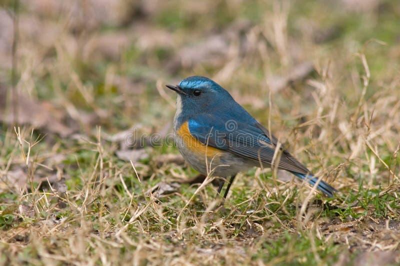 Bluetail Rojo-flanqueado Himalayan, Himalaya Blauwstaart, Tarsiger r foto de archivo libre de regalías