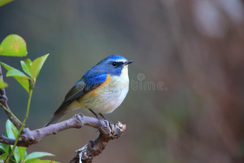 bluetail Rouge-flanqué ou merle Orange-flanqué de buisson photos stock